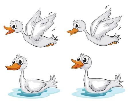 cisnes: Ilustraci�n de cuatro patos en un fondo blanco