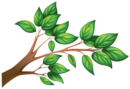 petiole: Illustration of a branch of a tree with leaves on a white background Illustration