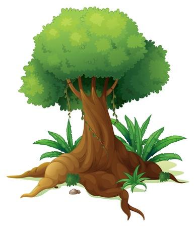 arboles frondosos: Ilustración de un árbol grande en un fondo blanco