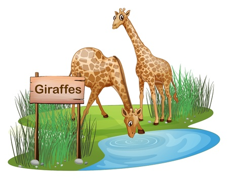 thirsty: Illustration of the two giraffes at the pond near a signboard on a white background Illustration