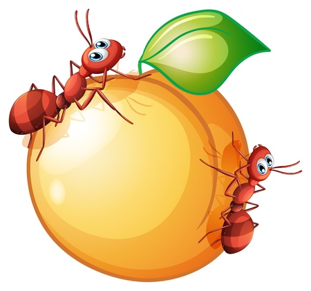 Illustration of an orange fruit with two ants on a white background Vector