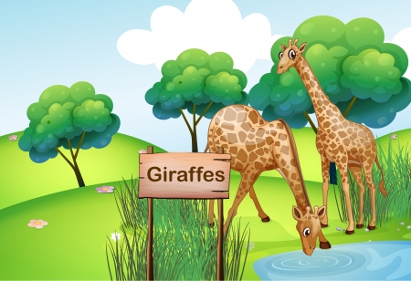 tall grass: Illustration of the two giraffes at the forest with a wooden sign board Illustration