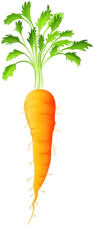 Illustration of a carrot on a white background Vector