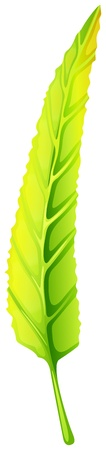 lamina: Illustration of a green elongated leaf on a white background