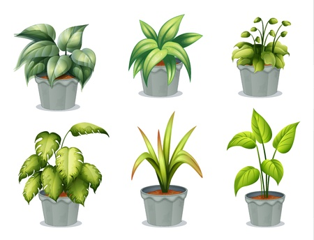 rubber plant: Illustration of the six leafy plants with pot on a white background