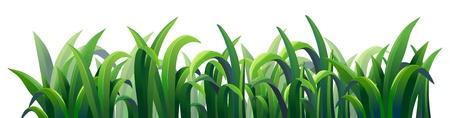 Ilustración de la hierba alargadas de color verde sobre un fondo blanco Ilustración de vector