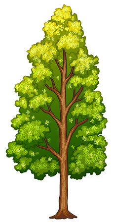 tall tree: Illustration of a tree on a white background Illustration