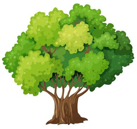 arboles frondosos: Ilustración de un árbol grande y viejo en un fondo blanco