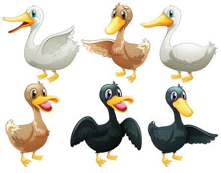 pato caricatura: Ilustración de los patos y gansos en un fondo blanco