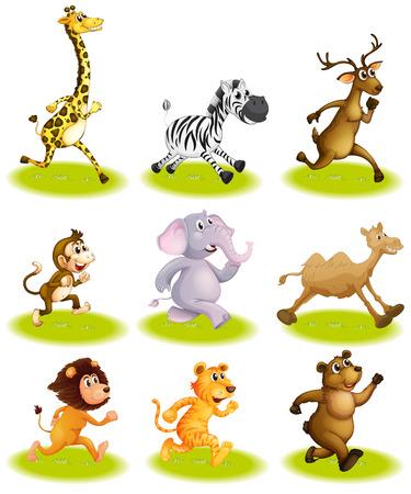 running camel: Illustration of the running animals on a white background Illustration