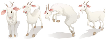 smiling goat: Illustration of the four white goats on a white background