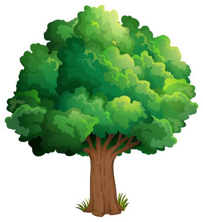 arboles frondosos: Ilustración de un árbol en el bosque sobre un fondo blanco Vectores