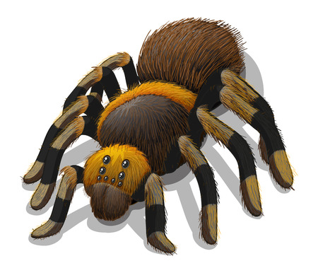 spider cartoon: A Tarantula spider on a white background