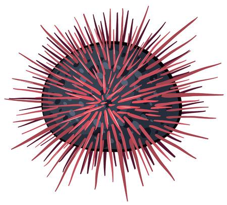 sea urchin: Illustration of a close up sea urchin