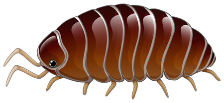 A woodlouse on a white background