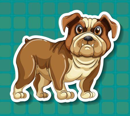 closeup: Closeup Bulldogge mit blauem Hintergrund