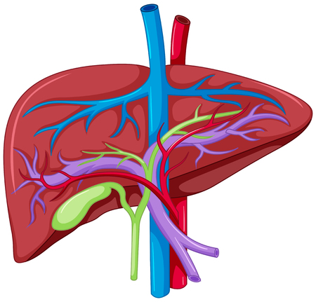 liver cells: Close up diagram of liver anatomy illustration