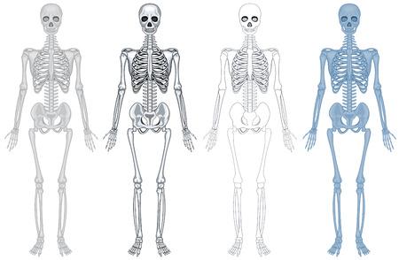 Ziemlich Menschliches Skelett Diagramm Ohne Etiketten Ideen ...