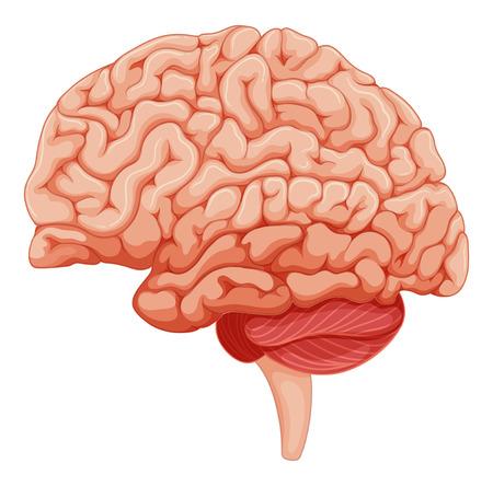 brain clipart: Close up on brain anatomy illustration