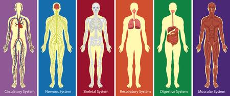 huesos humanos: Los diferentes sistemas del cuerpo humano diagrama de la ilustración