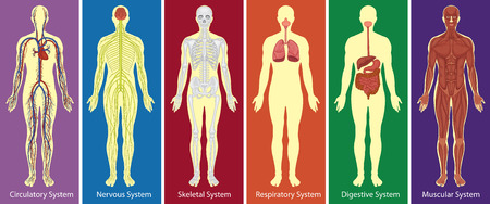 Different systems of human body diagram illustration