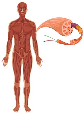Sistema Circulatorio En La Ilustración Cuerpo Humano Ilustraciones ...