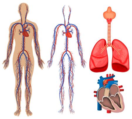 Bloedsomloop in het menselijk lichaam illustratie