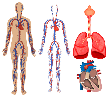 Circulatory system in human body illustration
