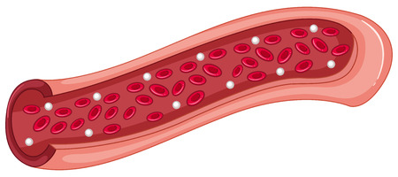 white blood cell: Red blood cells in the vein illustration