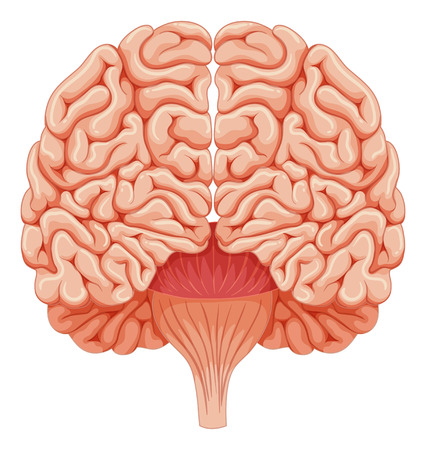 brain clipart: Human brain on white background illustration Illustration