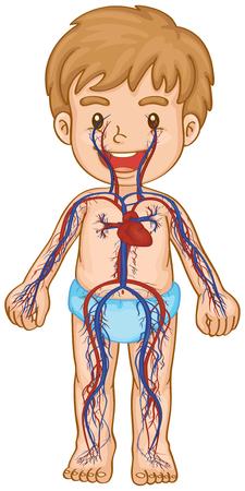 Blood system in boy body illustration