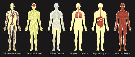 Diagrama de los sistemas en la ilustración del cuerpo humano