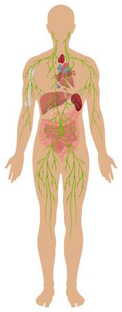 immune system: Lymphatic system in human body illustration Illustration