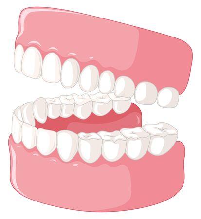 Modello di denti umani su sfondo bianco