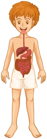 digestive: Digestive system in boy body illustration