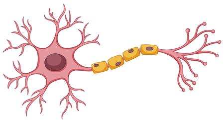 Stem cell diagram on white background illustration Illustration