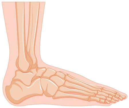 Inside of human foot bone illustration Vector Illustration