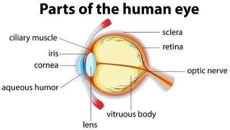 ojo humano: Las partes del ojo humano con nombre ilustración Vectores