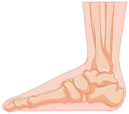 cancer foot: Foot bone in close up illustration Illustration