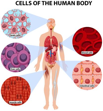 celulas humanas: Las células del cuerpo humano ilustración