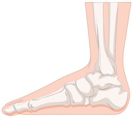 Foot bone in closer look illustration