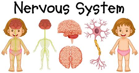 Sistema nervoso di piccola illustrazione bambina Vettoriali