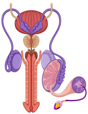 aparato reproductor: sistema reproductivo masculino en la ilustraci�n Vectores
