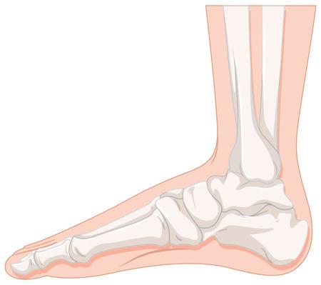 os du pied d'illustration humaine