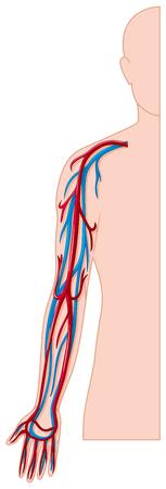 vasos sanguineos: Los vasos sangu�neos de la ilustraci�n brazo humano