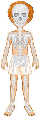 skeletal system: Skeletal system of human boy illustration Illustration