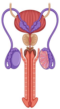 aparato reproductor: En el interior de la ilustración sistema reproductor masculino