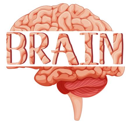 brain illustration: Word brain on human brain illustration