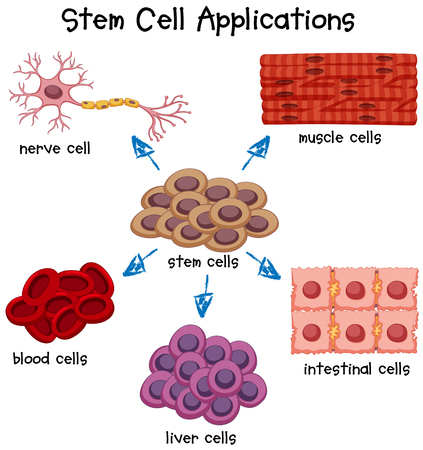 muscle cell: Poster showing different stem cell applications illustration Illustration