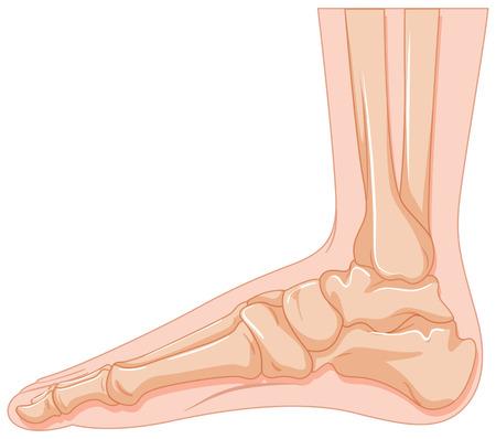 cancer foot: Human foot bone on white background illustration Illustration